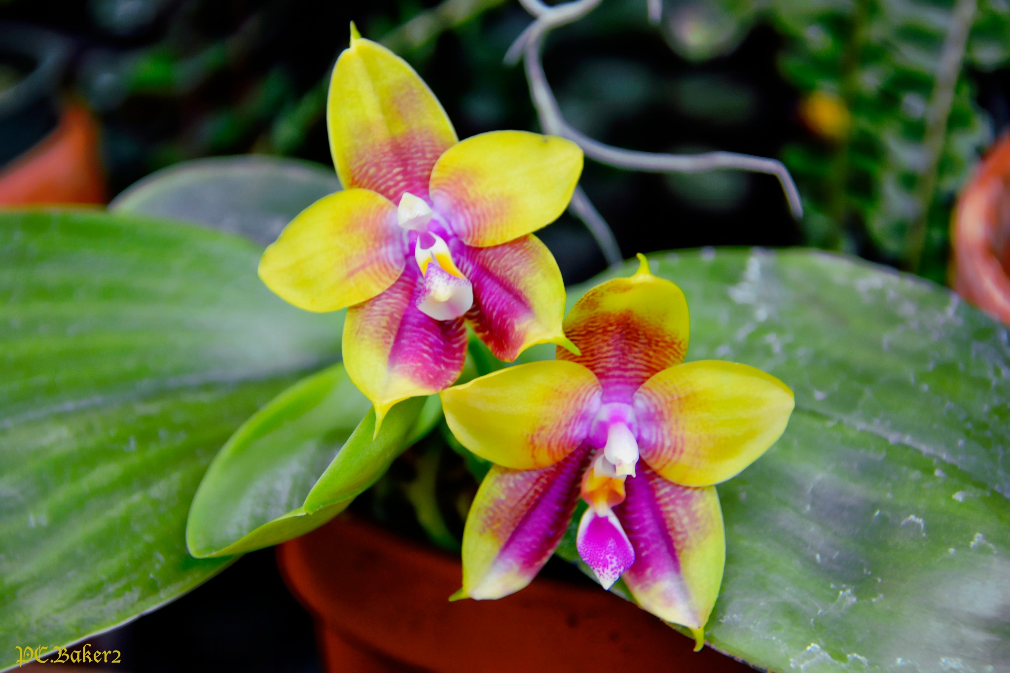Orchid 8 by Pete Baker