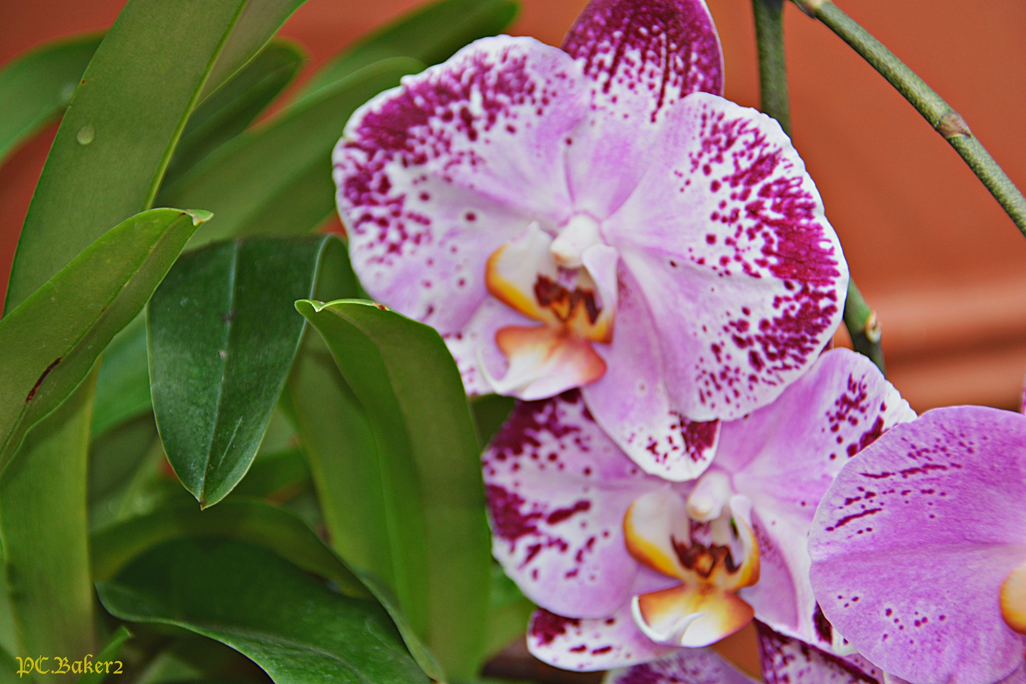 Orchid 6 by Pete Baker