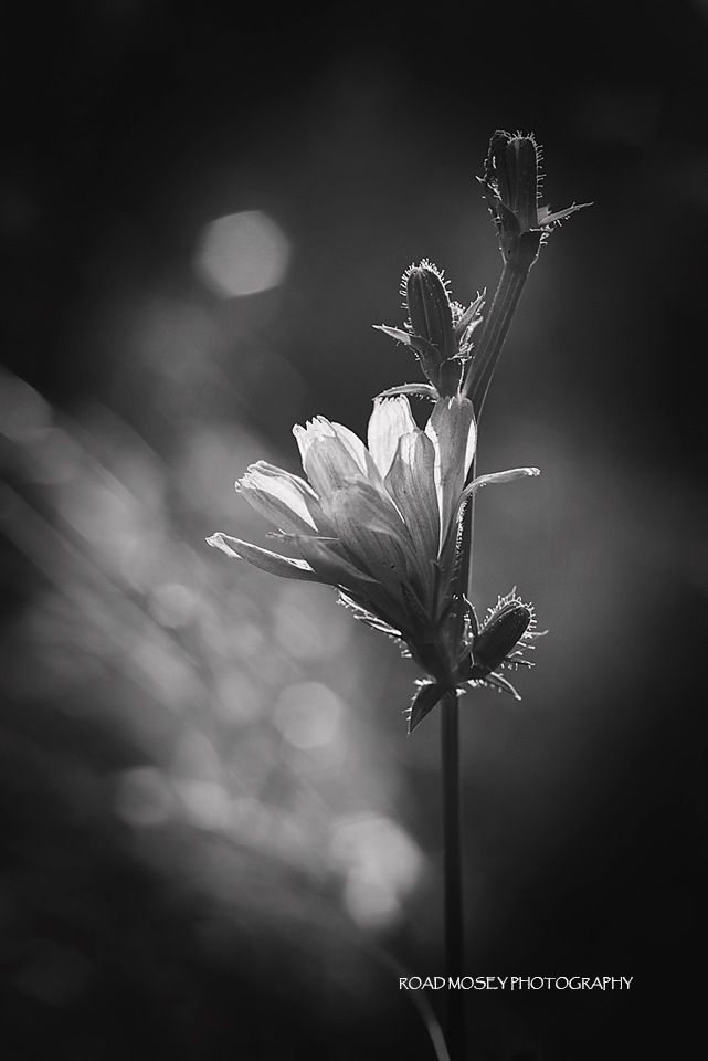 Chicory by Road Mosey Photography - Robin Brandjes