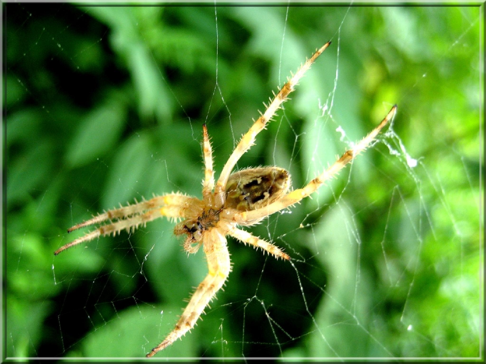 il ragno  by biafrano1960