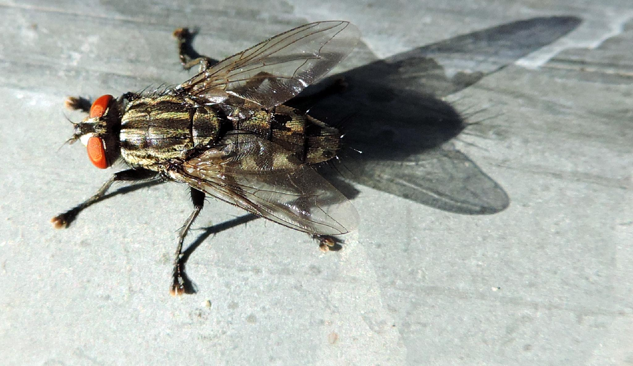 l'ombra della mosca by biafrano1960