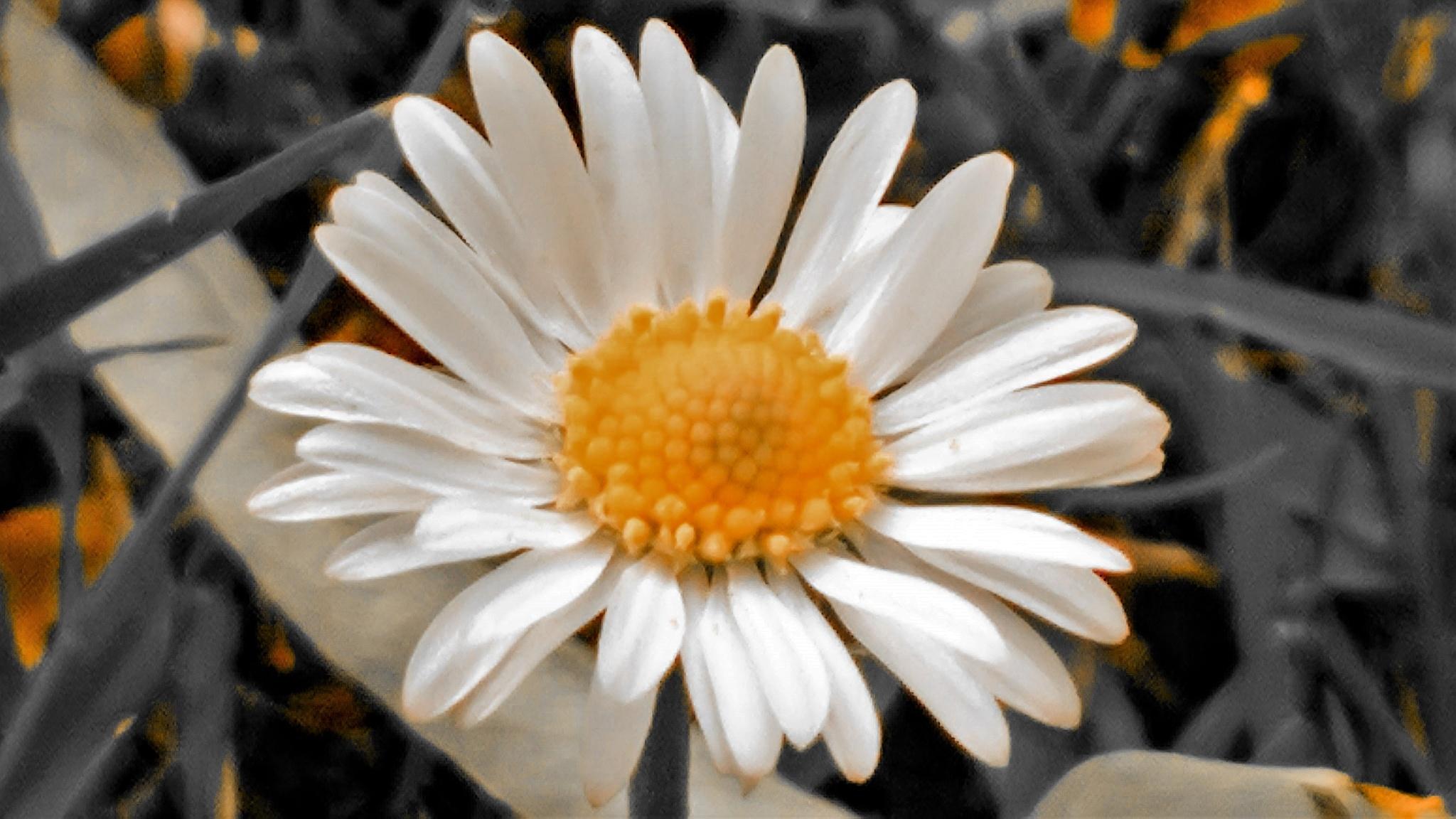 Daisy by gemma smith