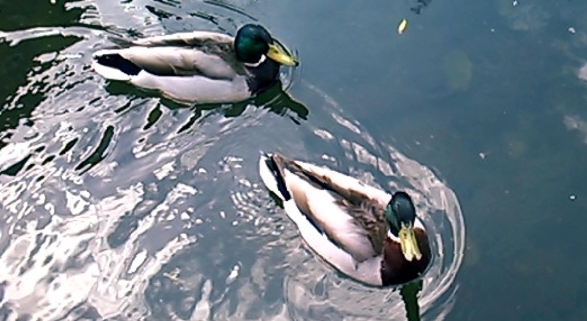 Ducks by gemma smith
