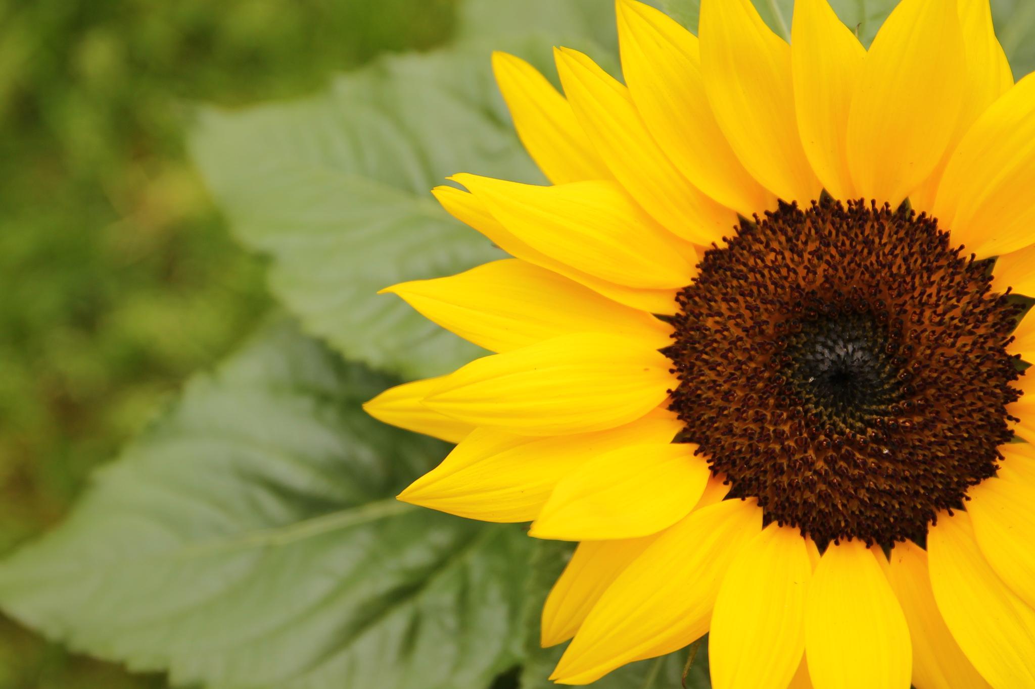 Sunflowers by kikkakobe