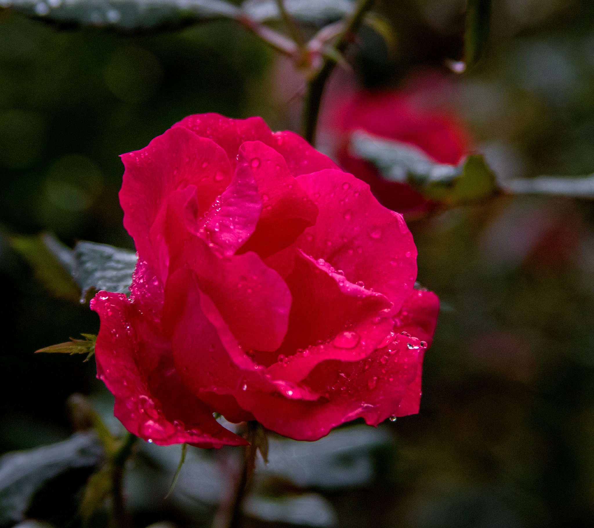 Rose in the rain by James Means
