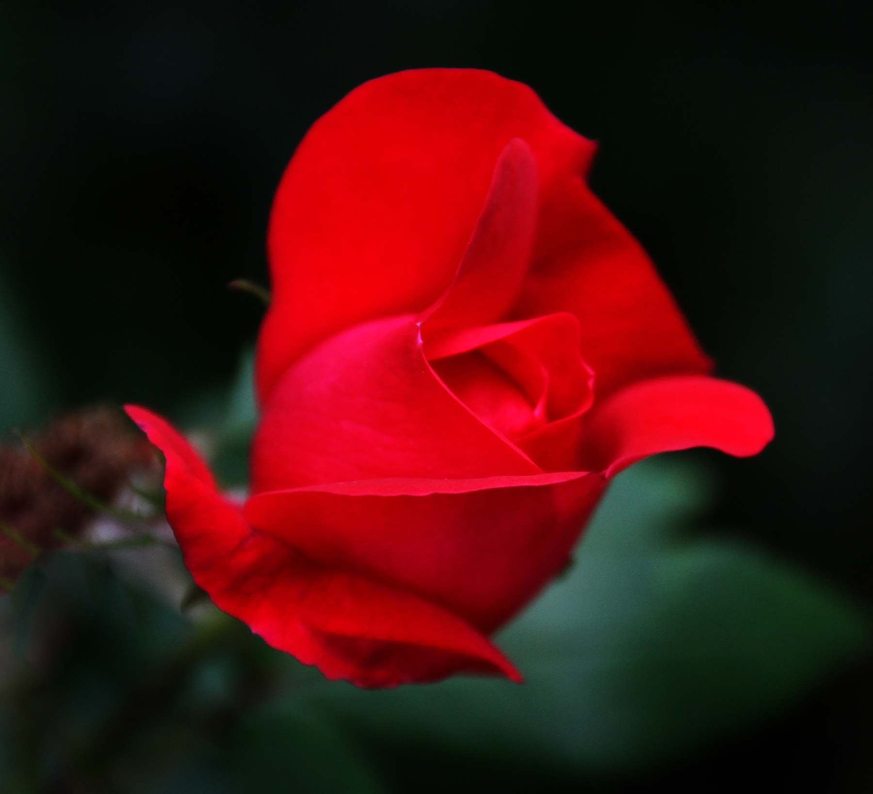 Rose by James Means