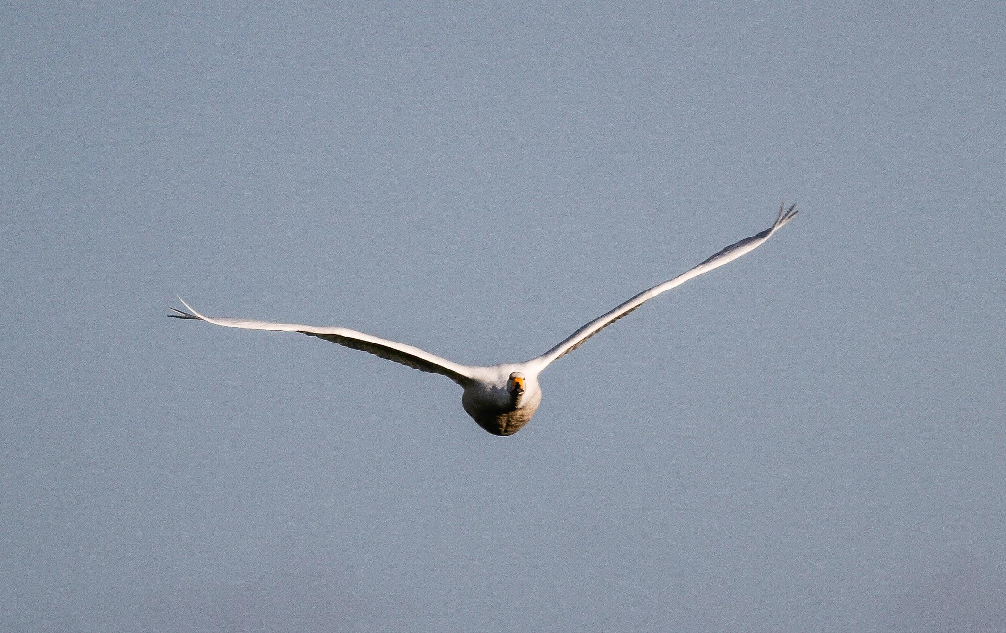 Whooper Swan by Kjeld Jensen
