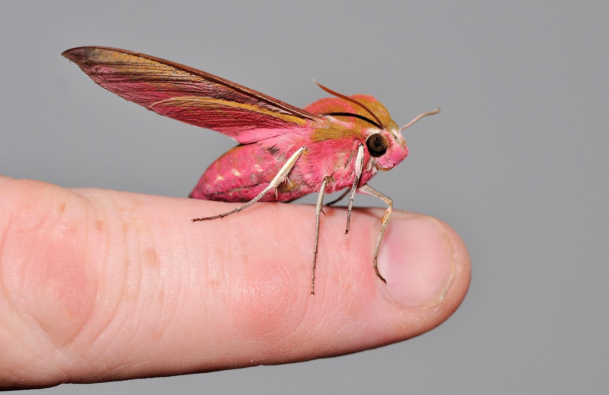 Moth on my finger by ian.hughes.1420