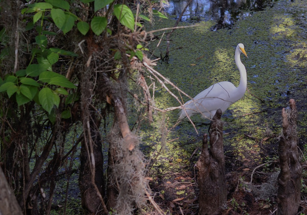 Great Egret by Mic Smith