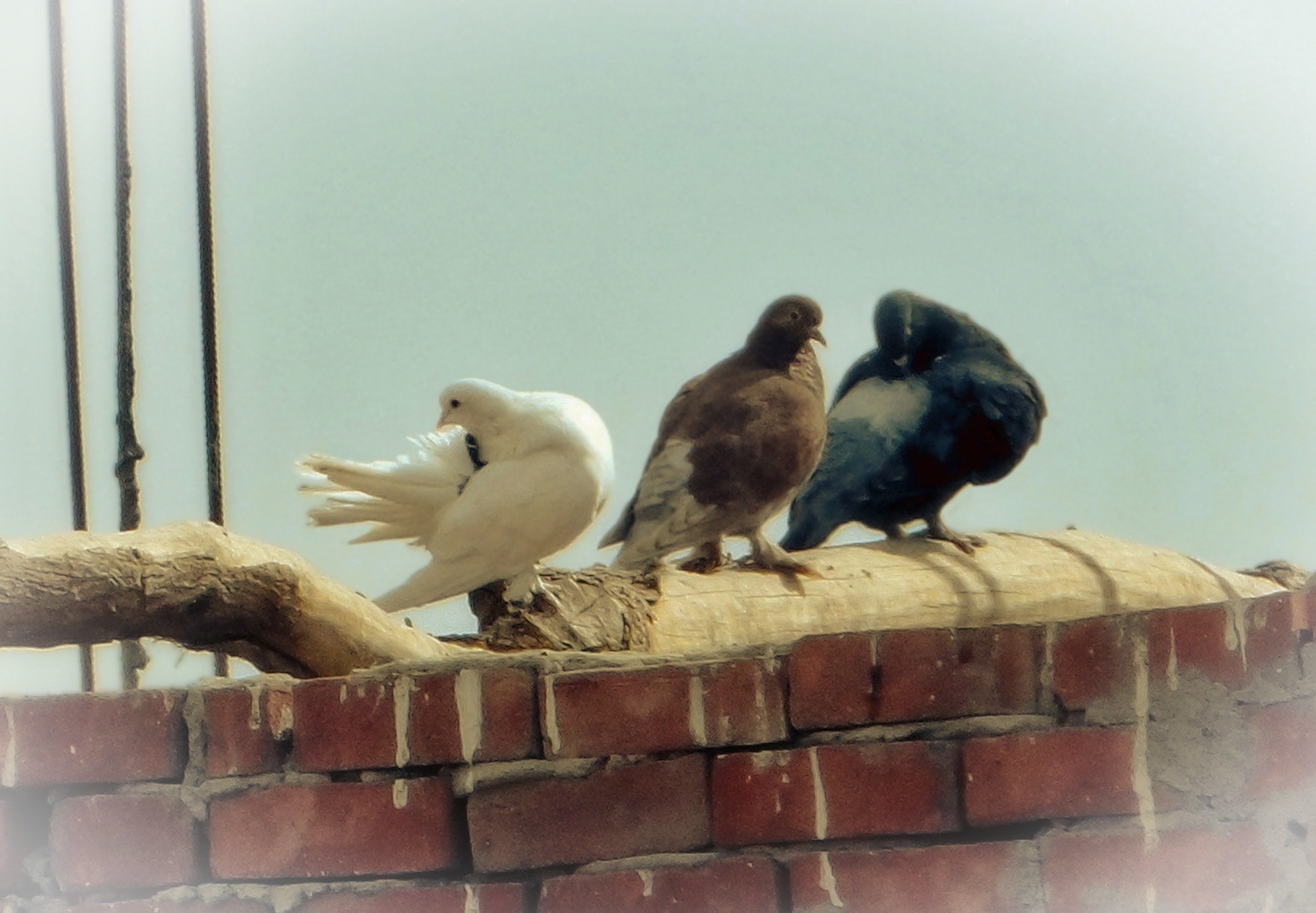 Pigeons 08 by mo'ness youness