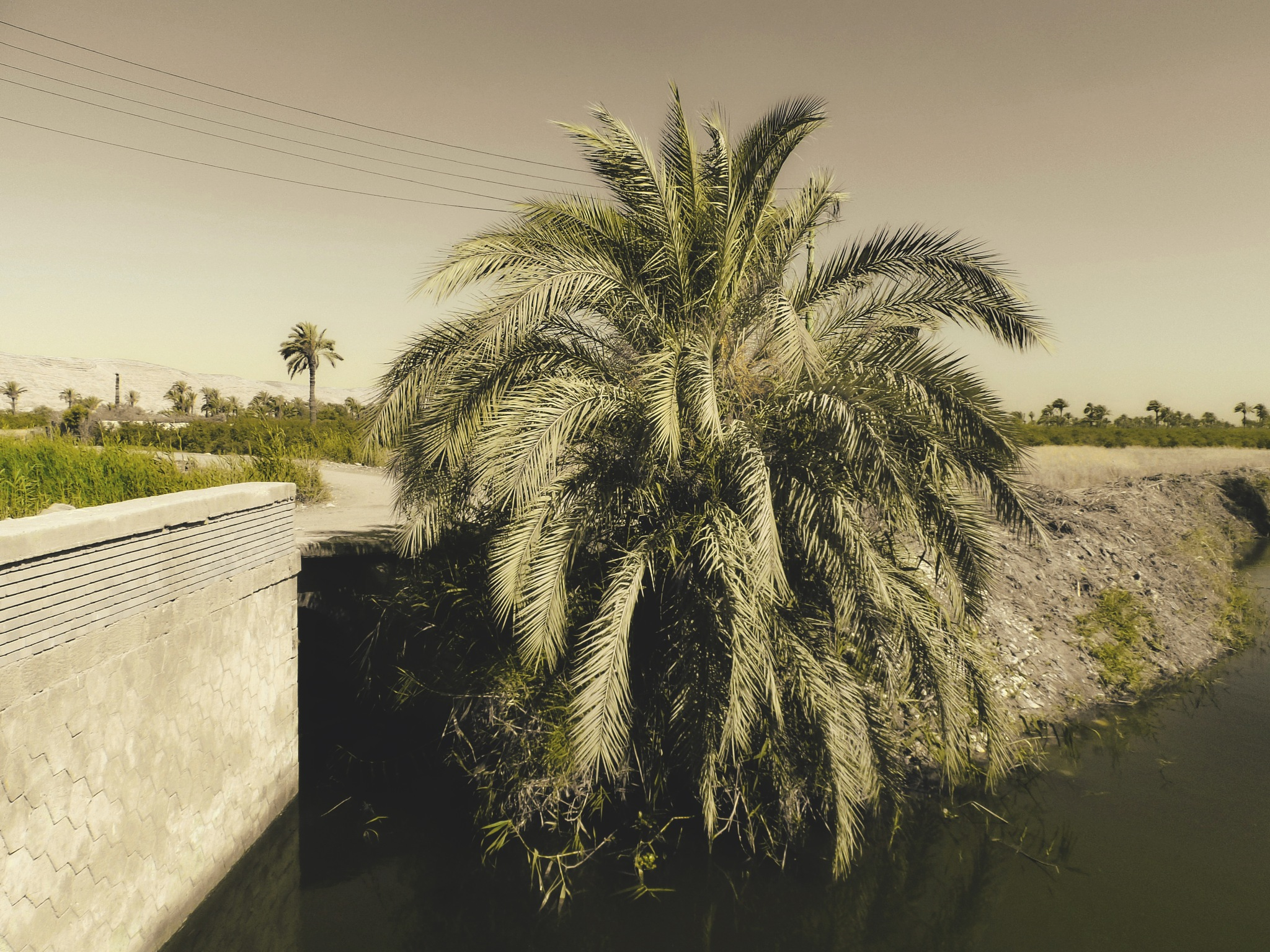 Palm tree by mo'ness youness