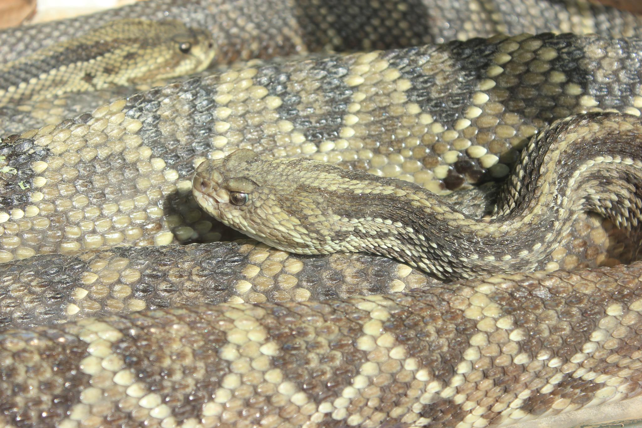 rattlesnake by Ricardo Pacheco