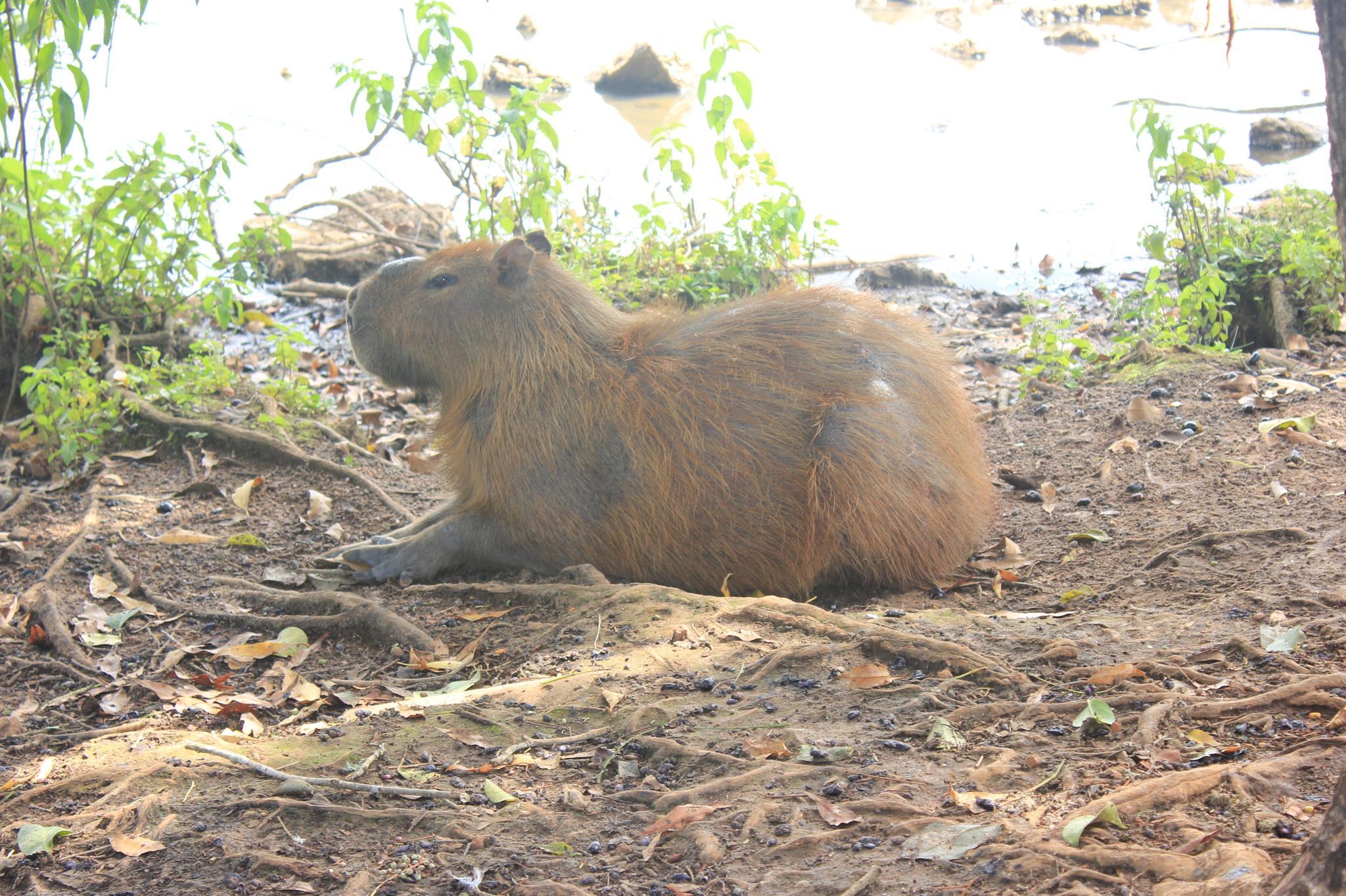 capybara by Ricardo Pacheco