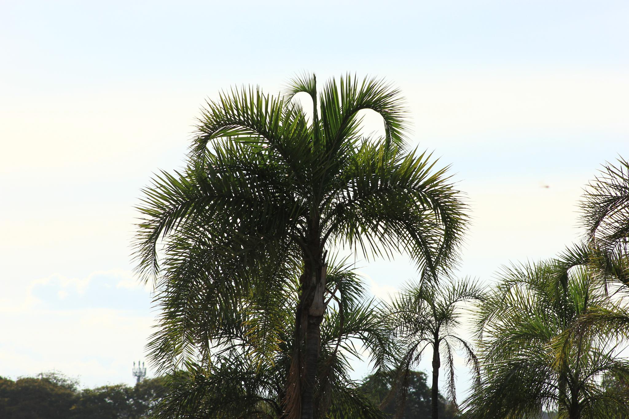 Palmeira Tree by Ricardo Pacheco