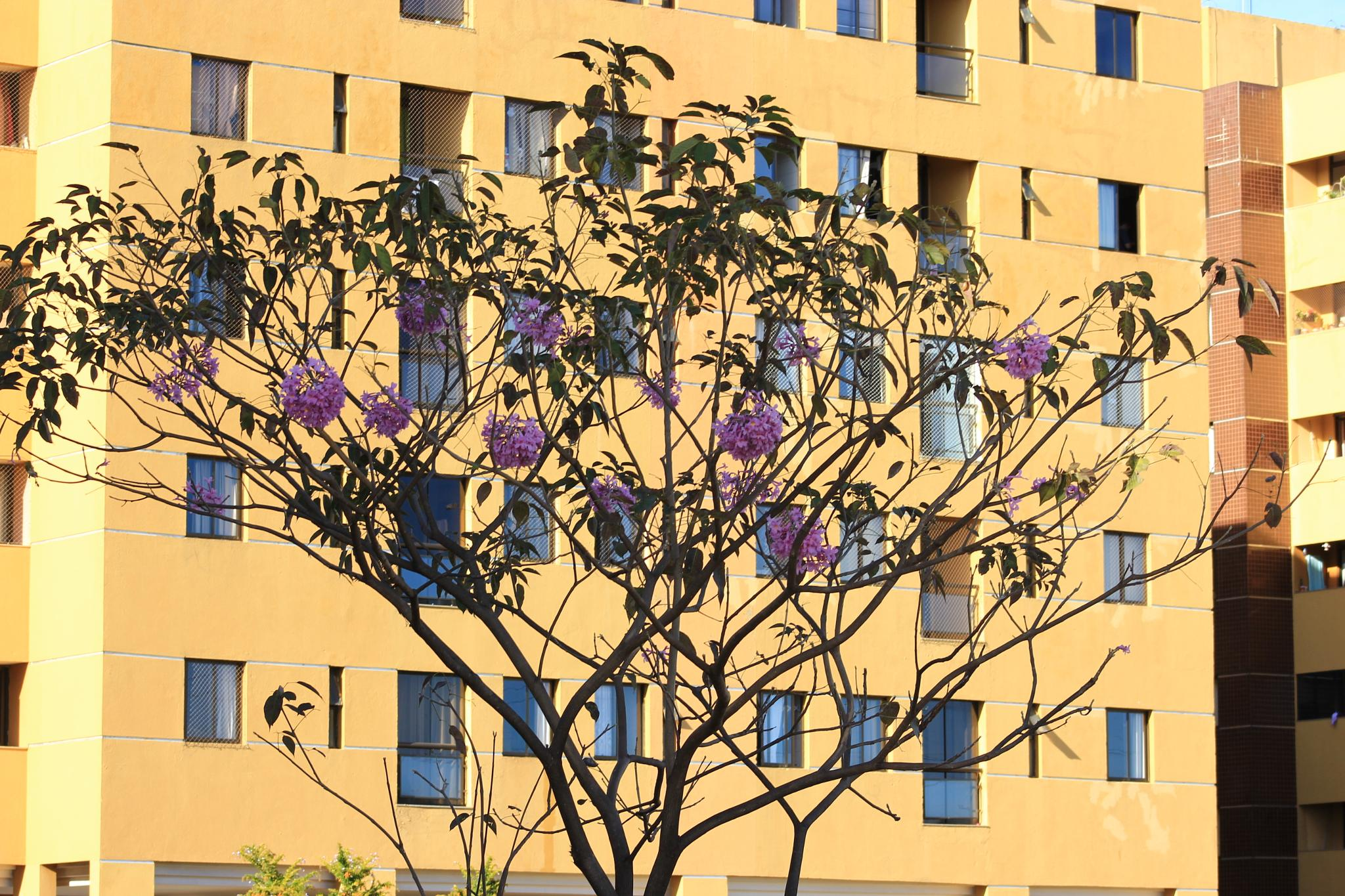 Purple ipê plus building by Ricardo Pacheco