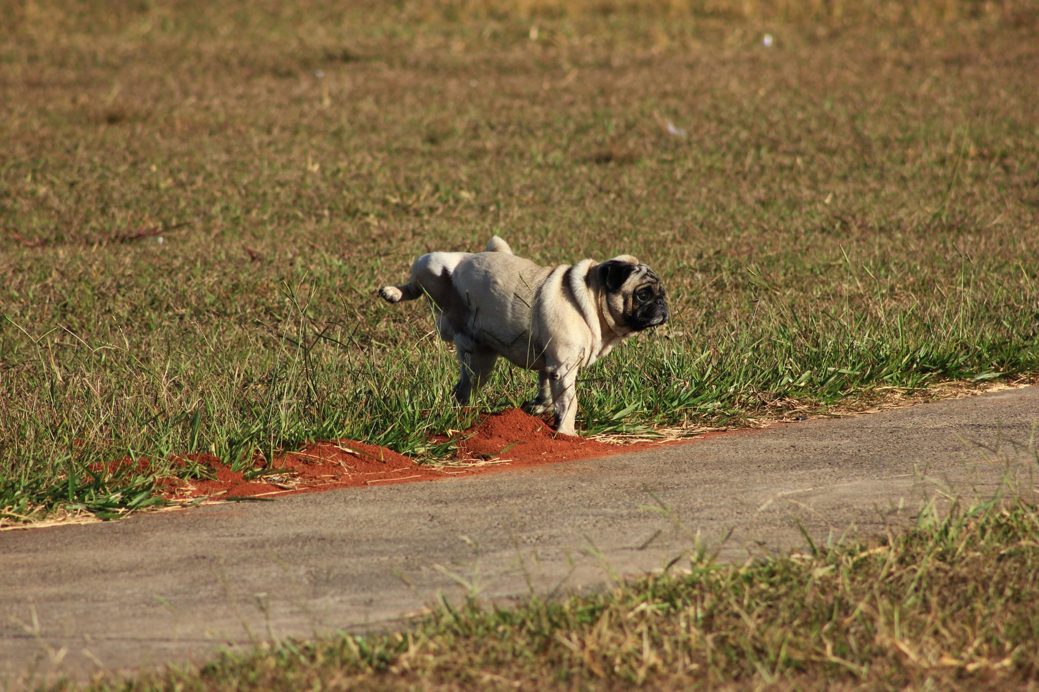 Photo in Animal #dog pee bsb brazil pacheco