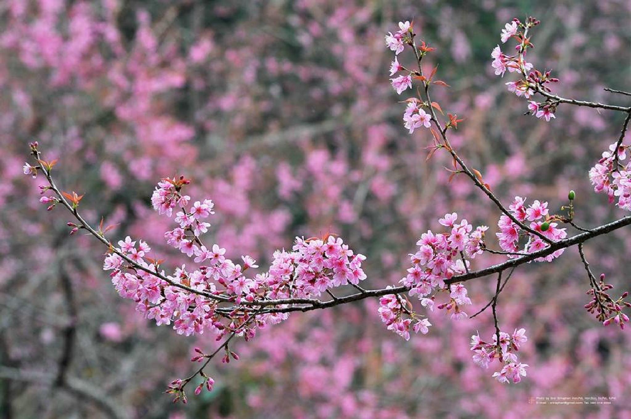 flowers by sroi sriraphen