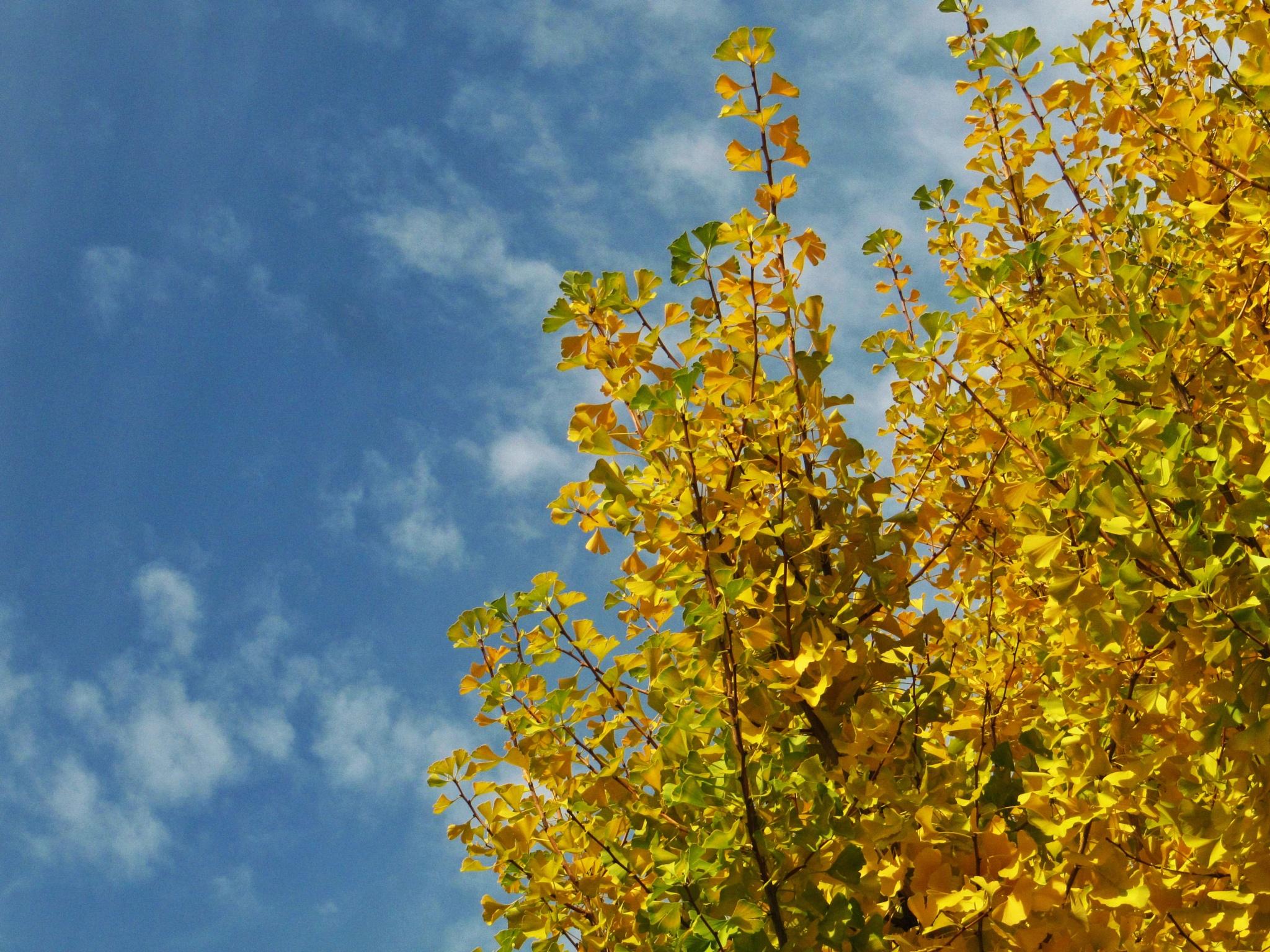 The ginkgo in autumn sky by SANRI