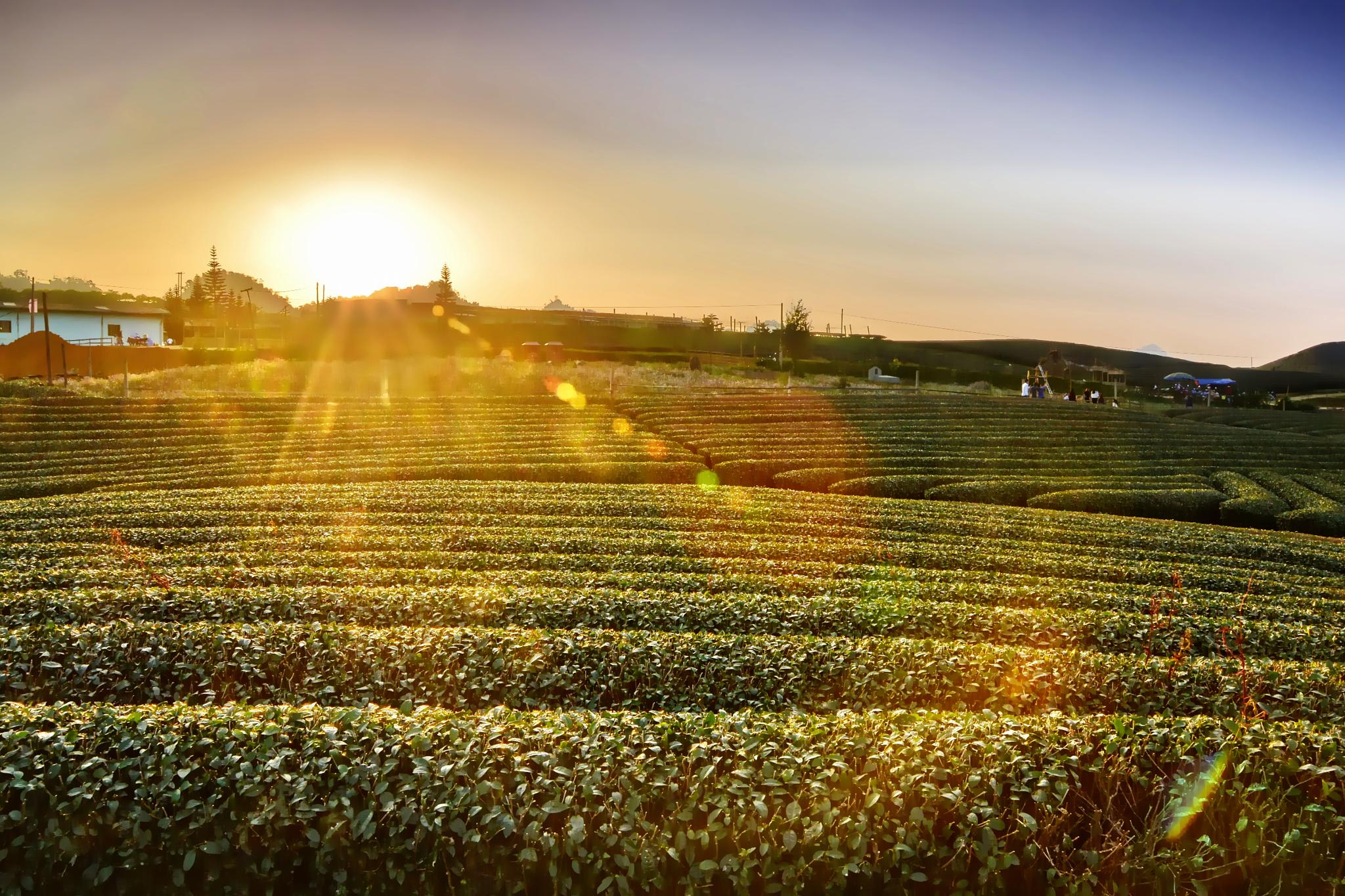 Sunset over the green tea hill by Hung Quang Ngo