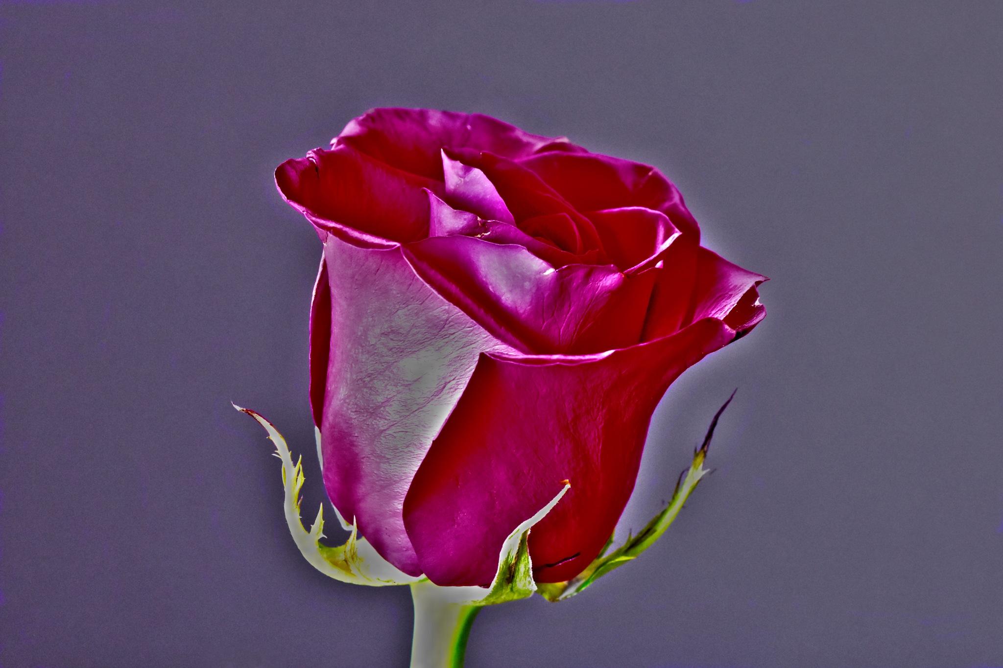 Rose by gregbahder