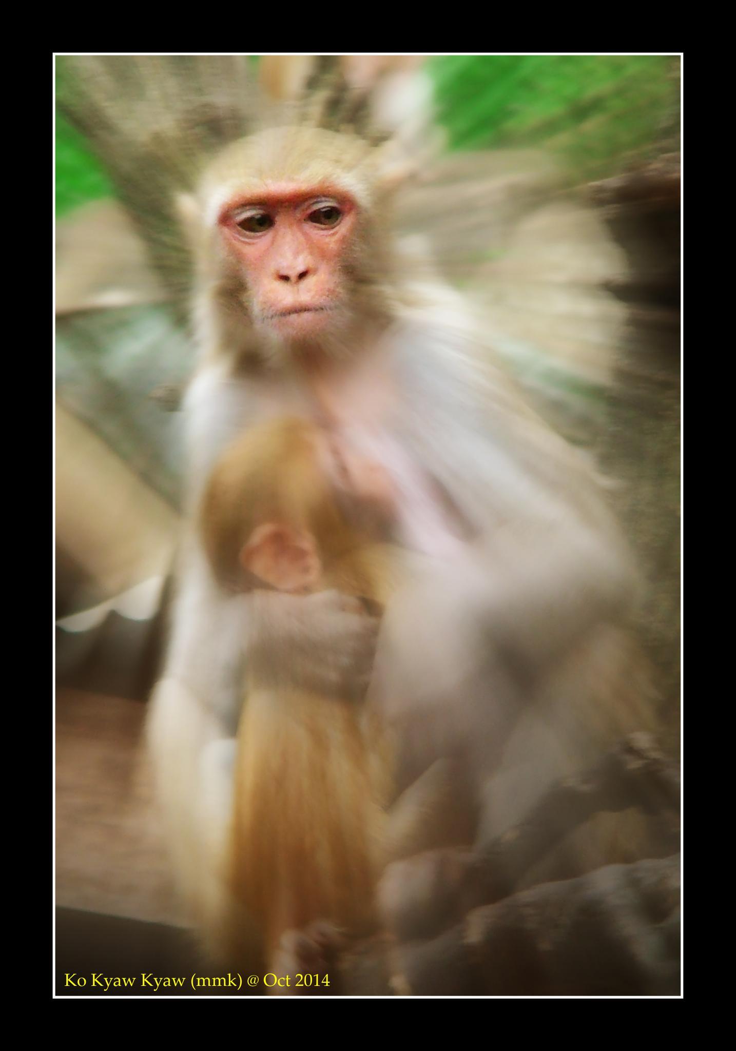 Monkey by Ko Kyaw Thura (Ko Kyaw Kyaw)