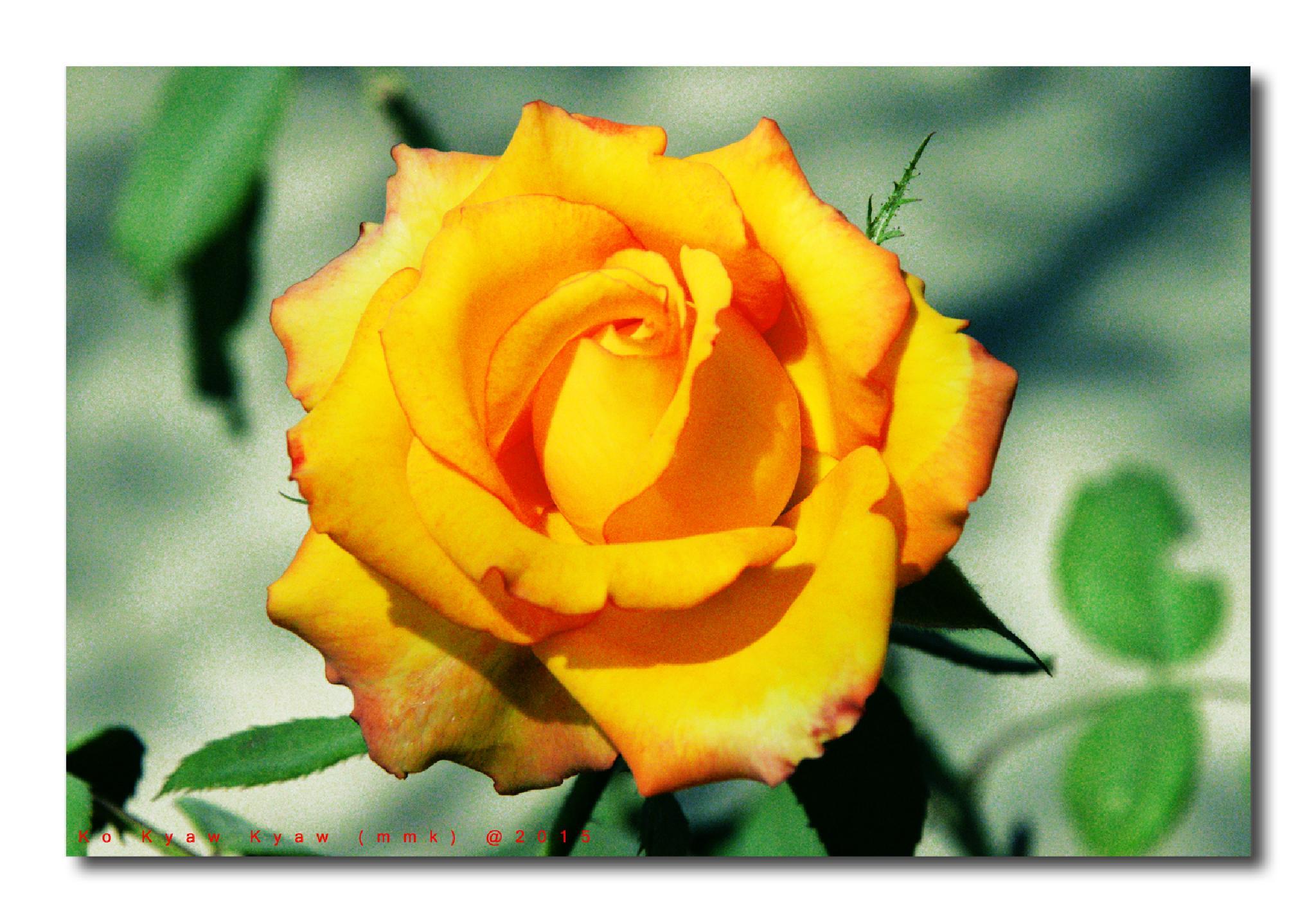 Yellow Rose by Ko Kyaw Thura (Ko Kyaw Kyaw)