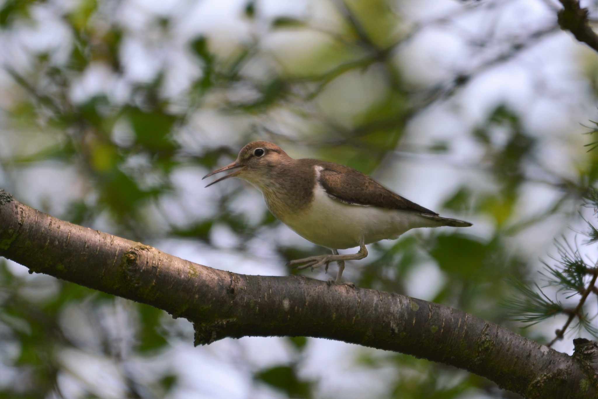 Common Sandpiper by paul.tyler.564