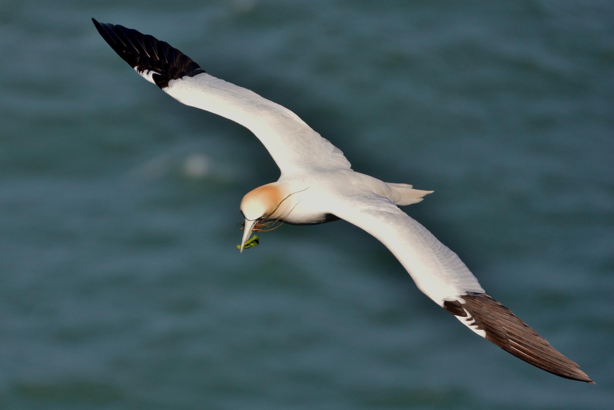 Gannet in Flight by paul.tyler.564