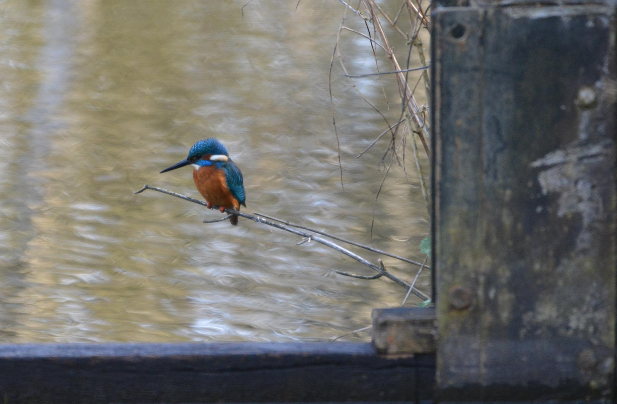 Kingfisher by paul.tyler.564
