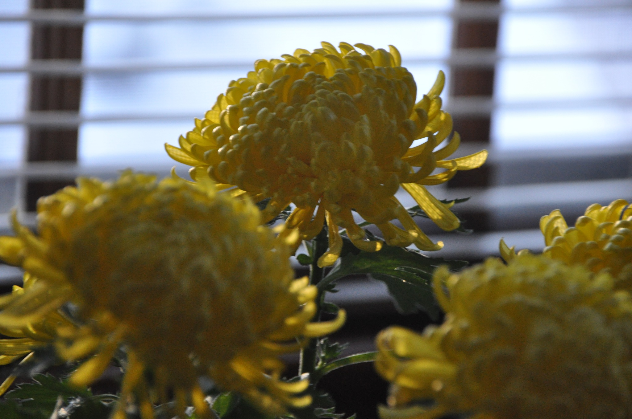 Flowers are  for the living  ~  Mums  will  brighten you up  ~    Riverside Place  ~ February 14,  2 by domenic.silvi