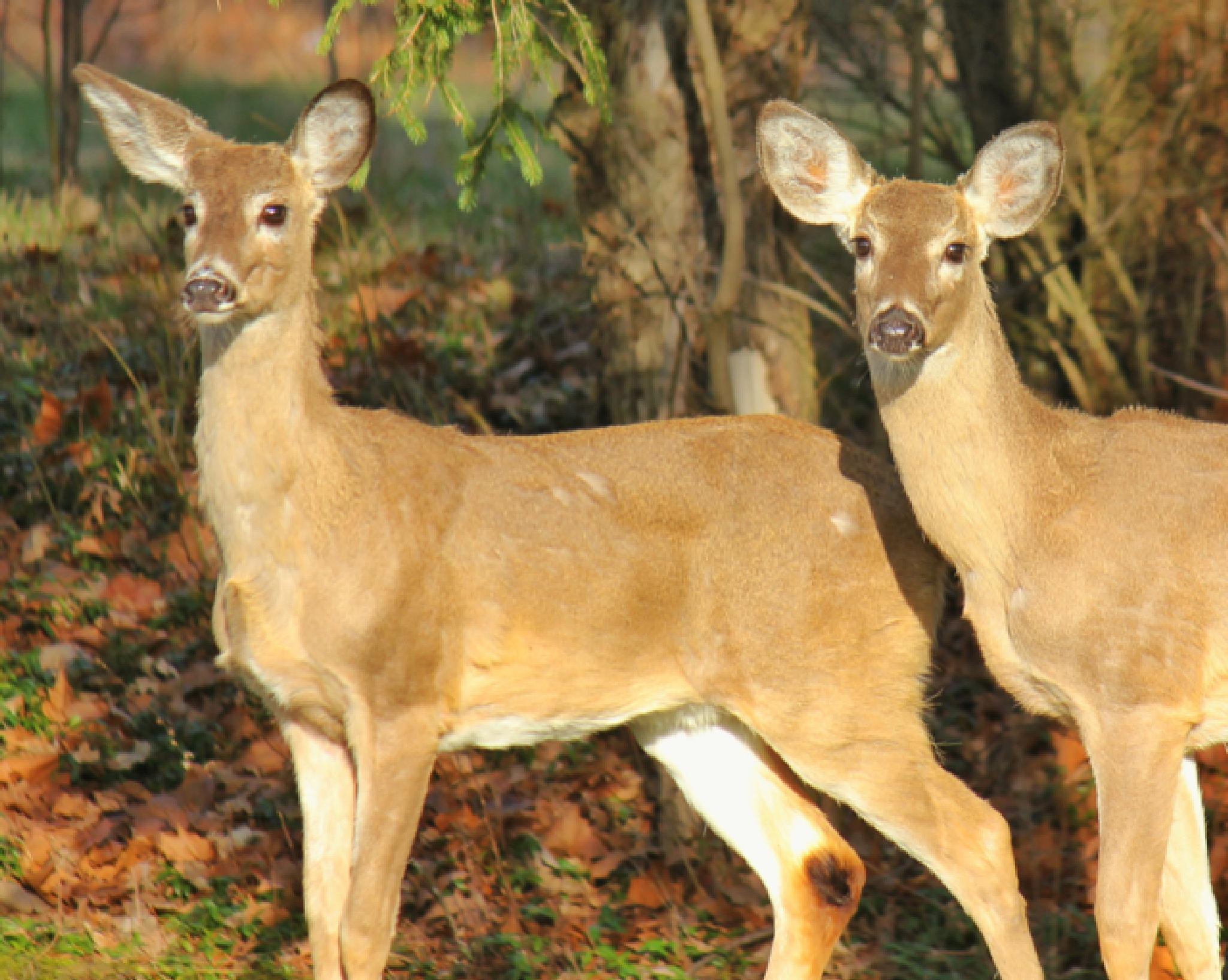 Two Deer by mattdevore