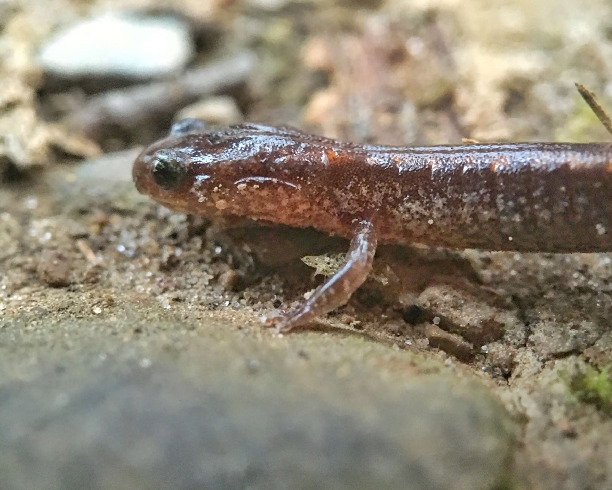 The Salamander by mattdevore