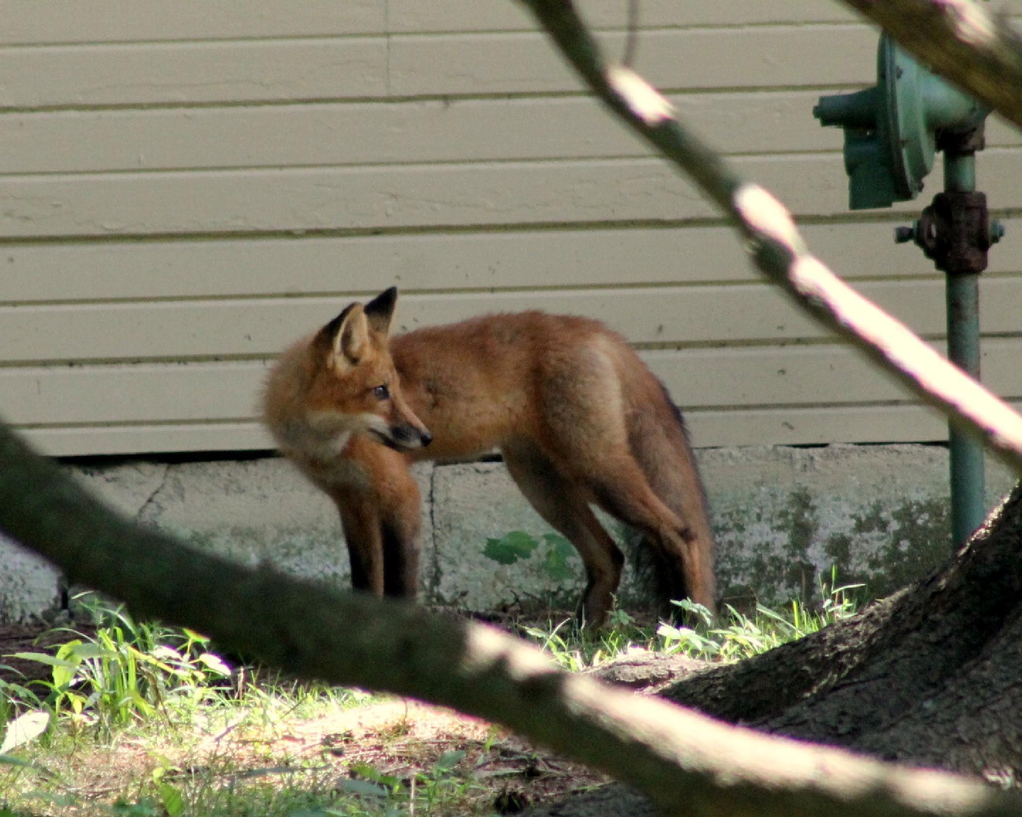 Little Fox by ChristopherMorrison