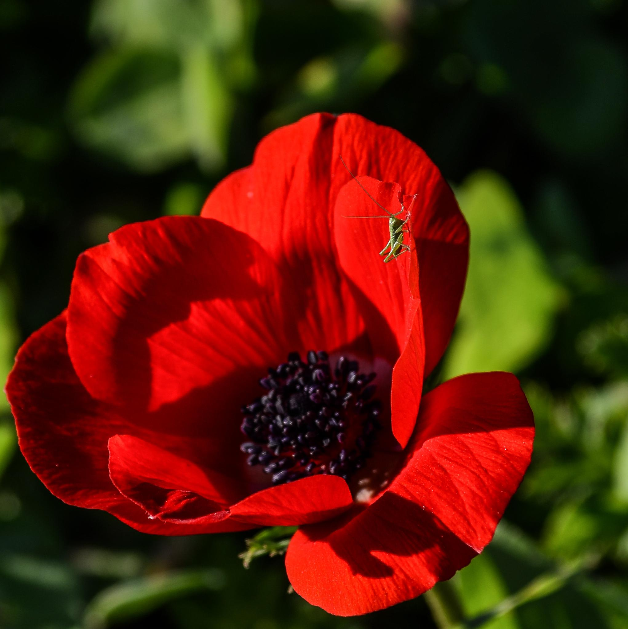 Anemone and Grasshopper by Igor Iris