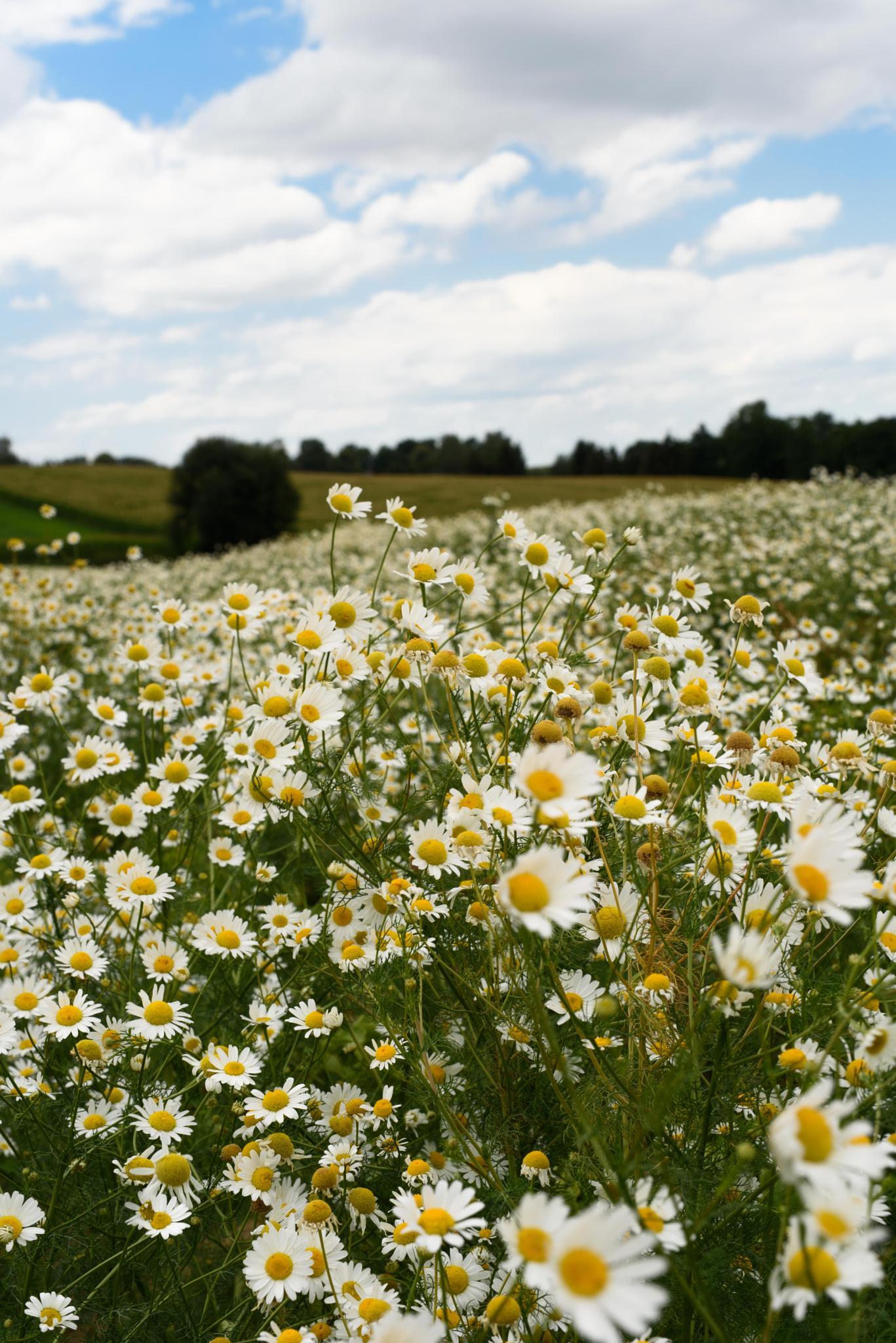 daisy field by designatgarten