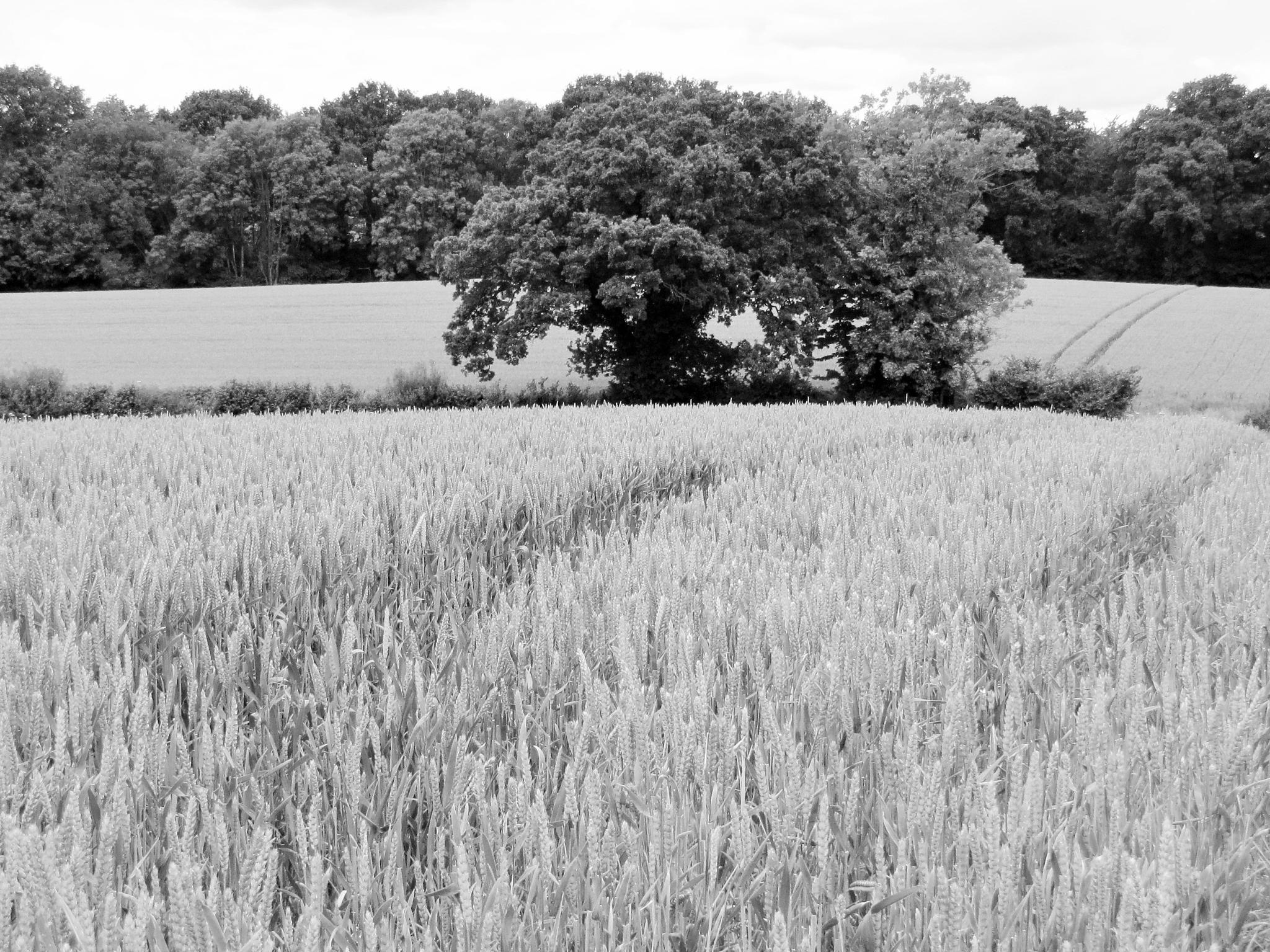 Wheatfields & Trees by geoff richards