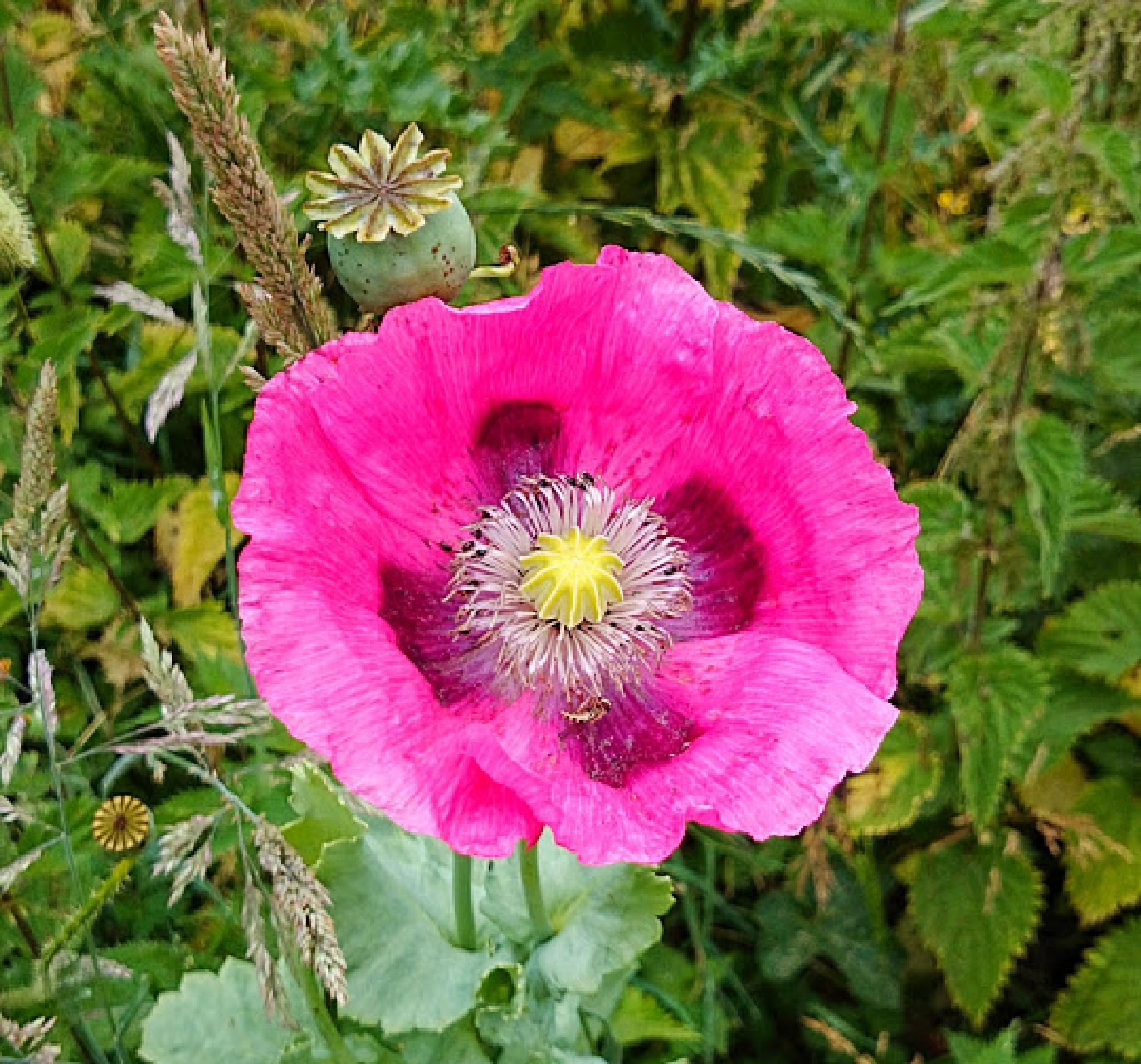 Pink Poppy by geoff richards