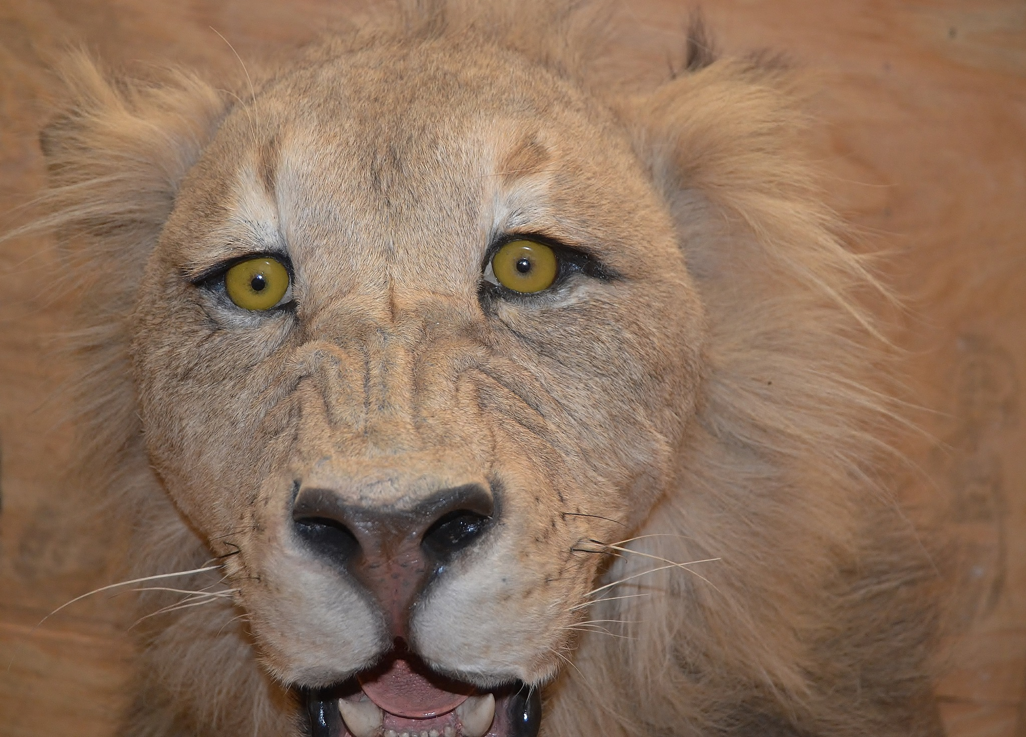 Lion from the front by stefan.andersson3