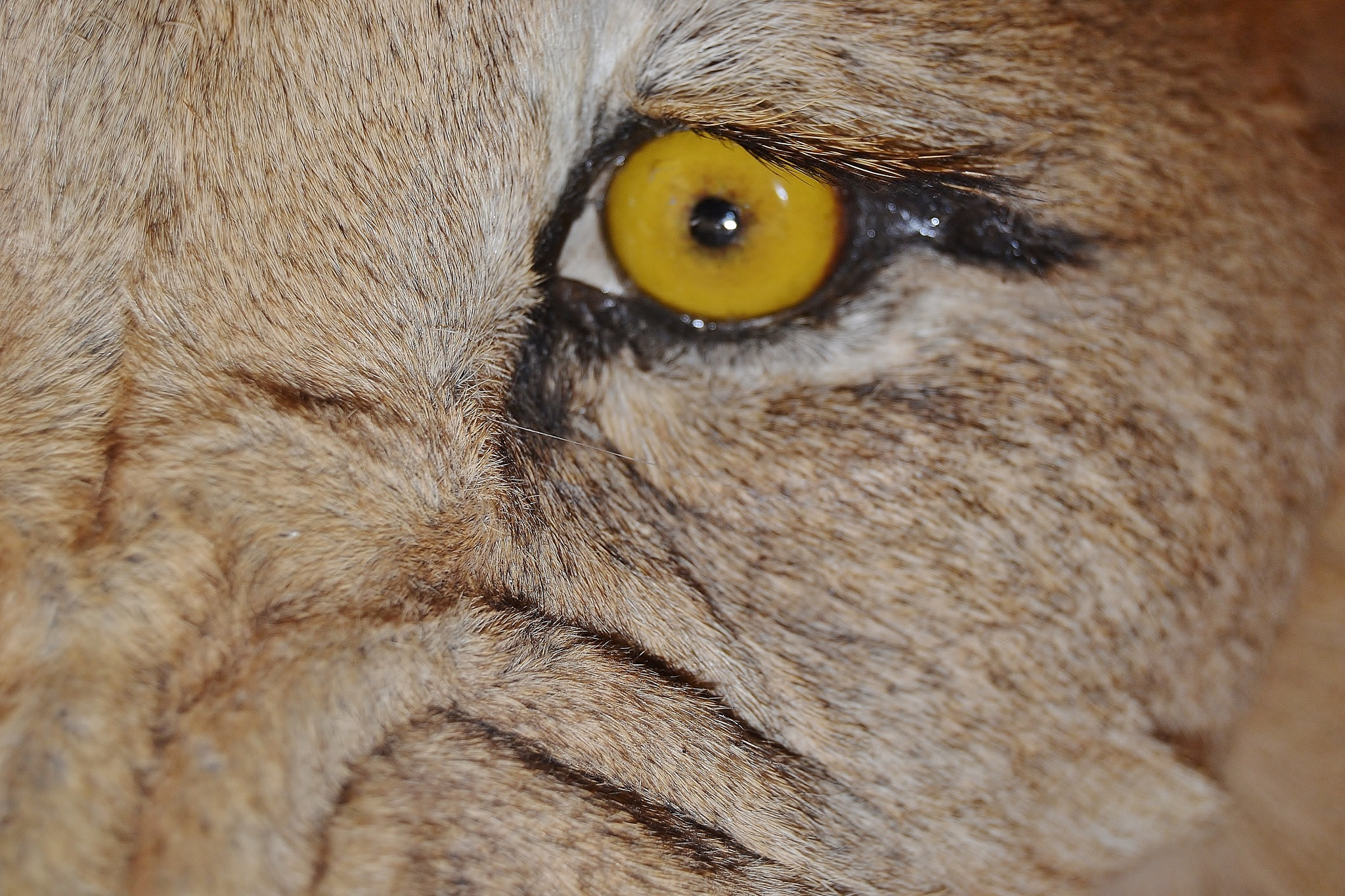 Eye of the Lion by stefan.andersson3