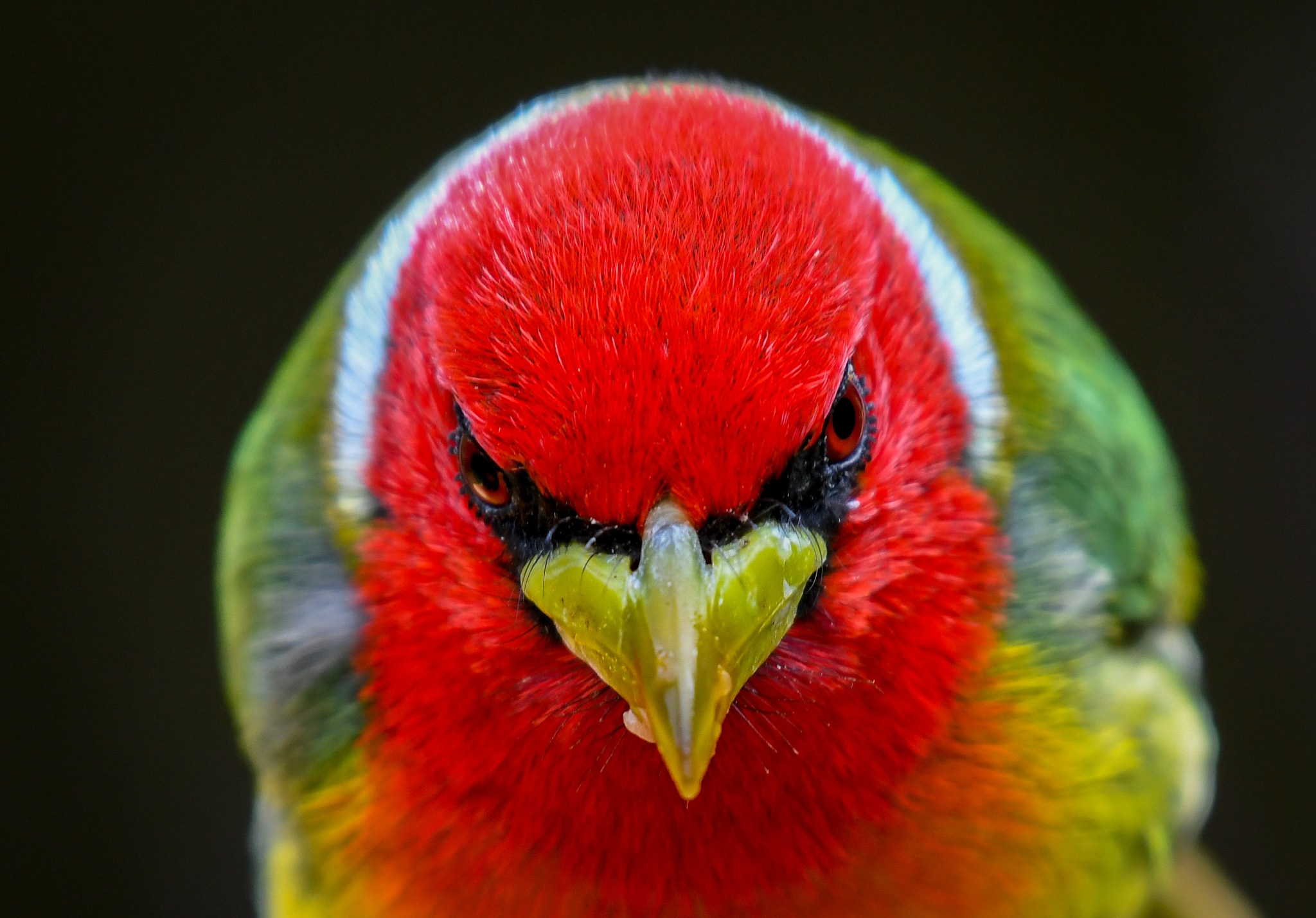 Red-headed Barbet by Rob-bird
