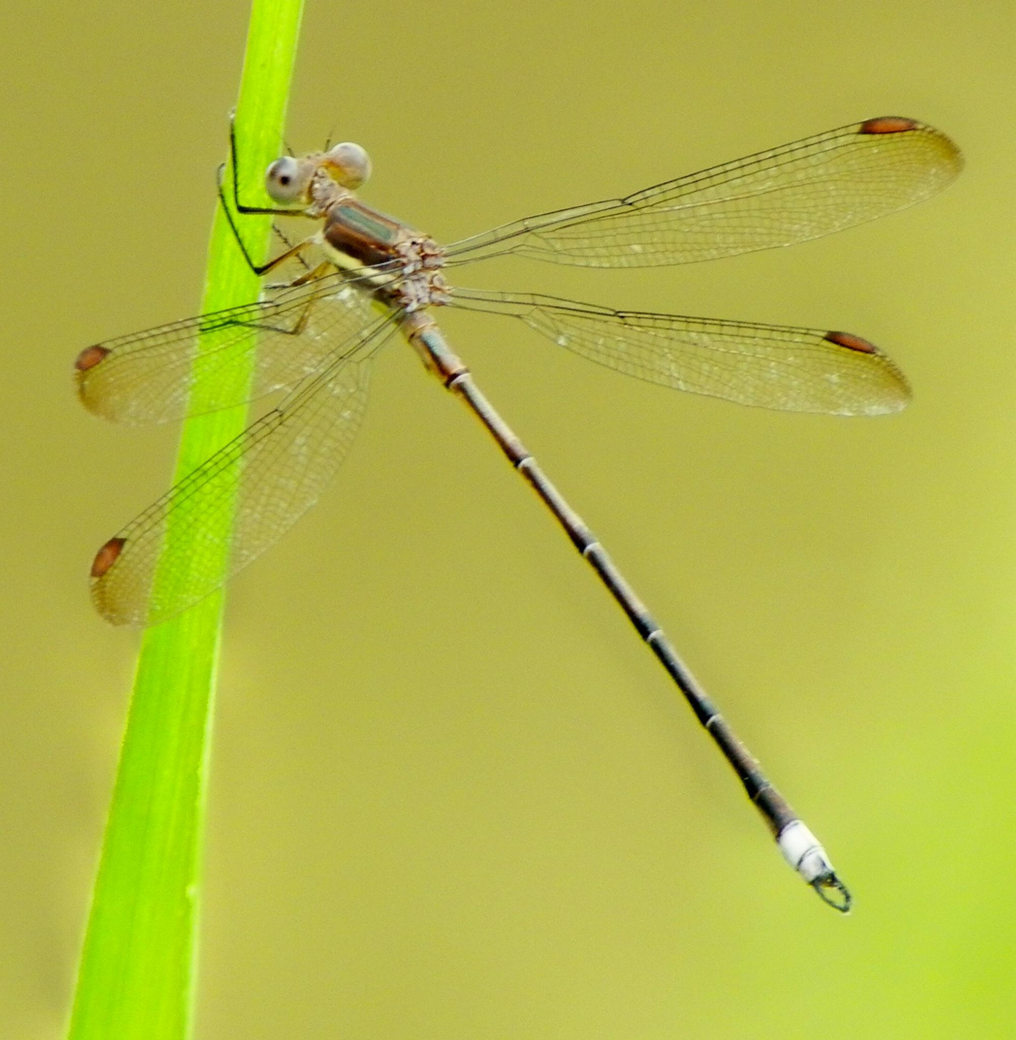 Damsel Fly by mariacox18