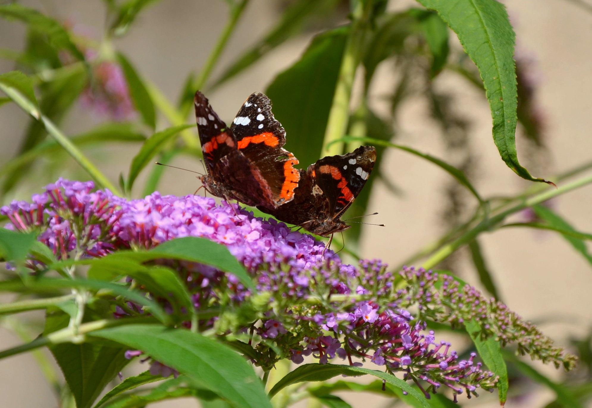 Butterflies dance by Stefan Bagyura