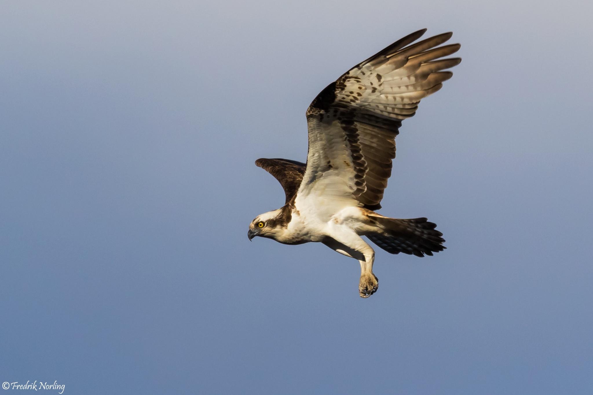Osprey by Fredrik Norling
