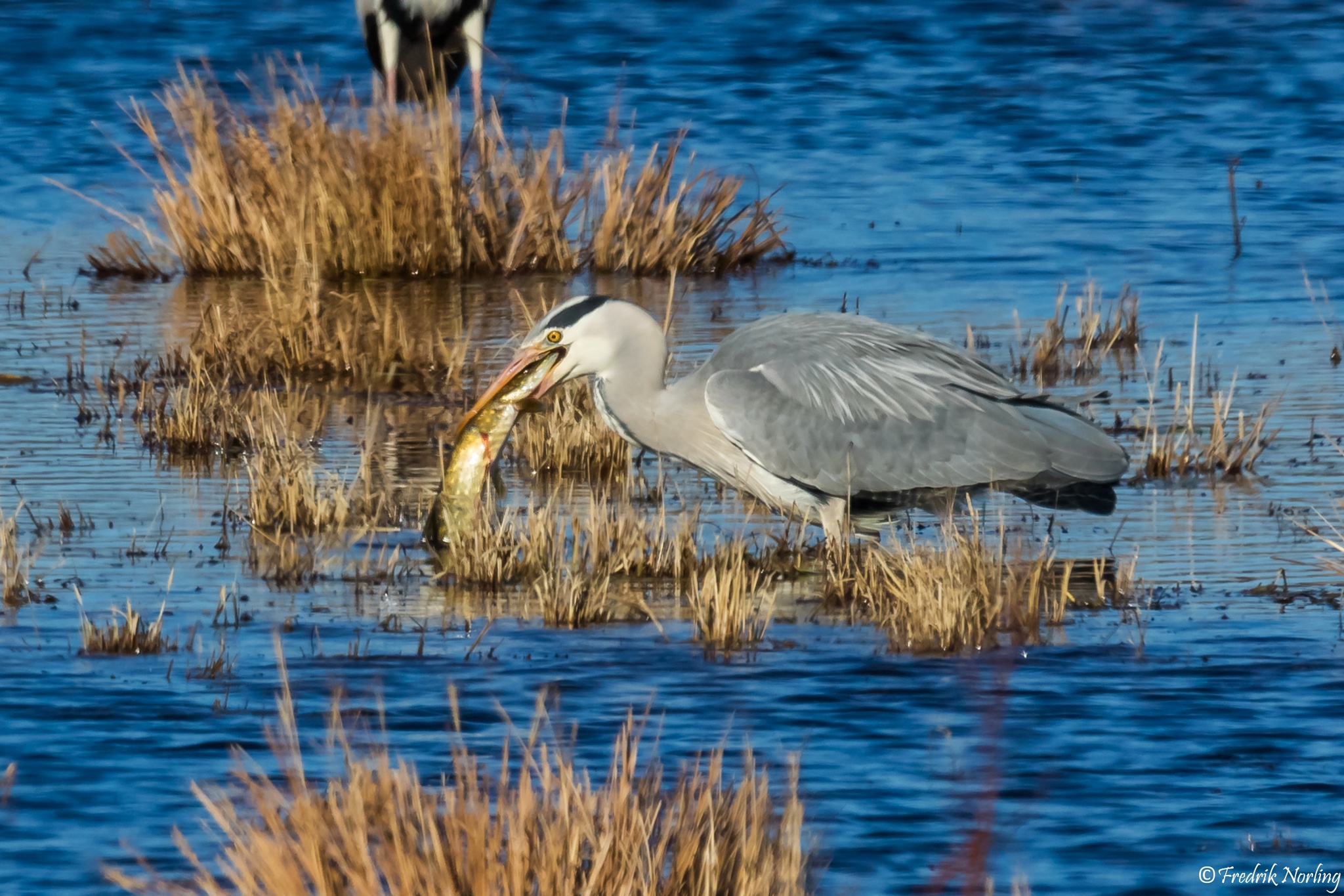 Heron eats Northern Pike by Fredrik Norling