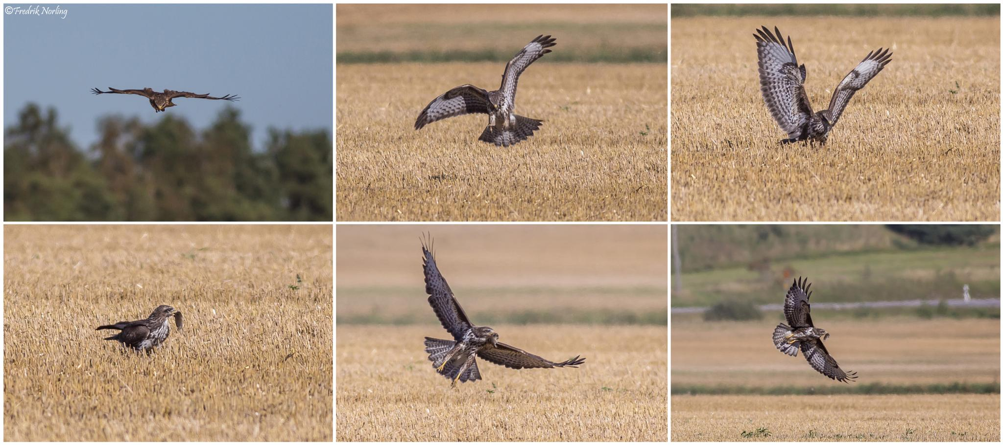 Buzzard catches a field mouse by Fredrik Norling