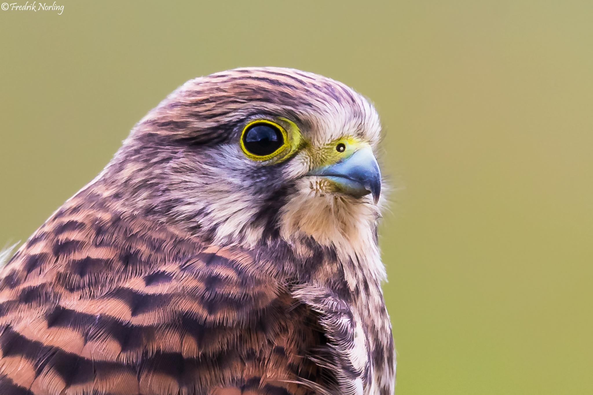 Juvenile Kestrel closeup by Fredrik Norling