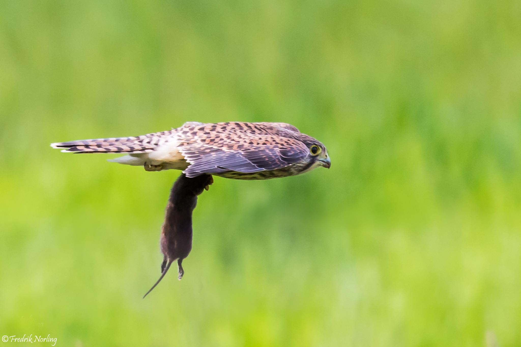 Juvenile Kestrel with lunch by Fredrik Norling