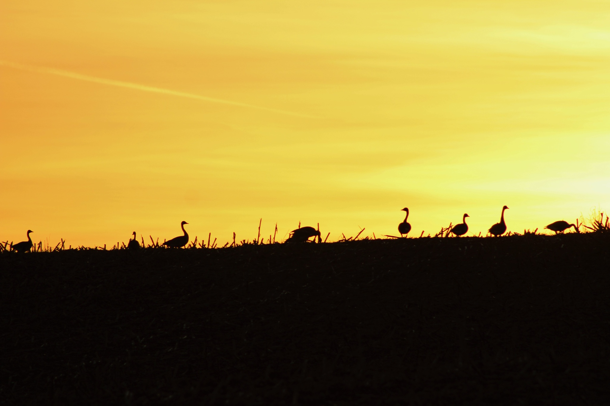 Geese at Dusk by Auggie23