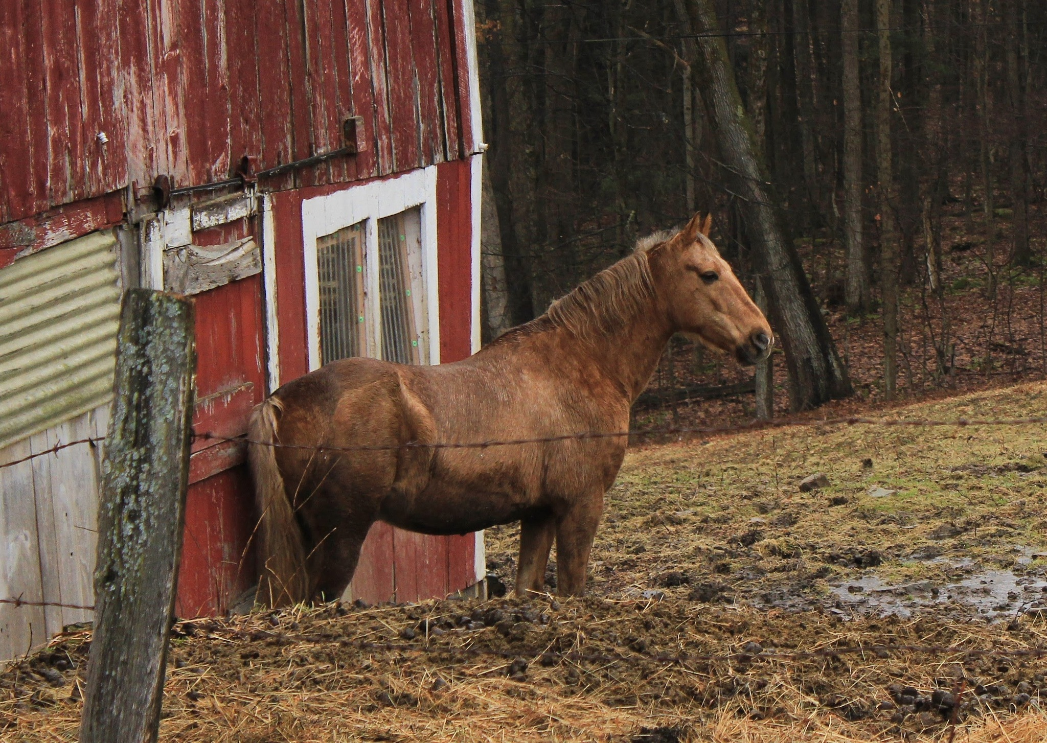 Horse at the Red Barn by Auggie23