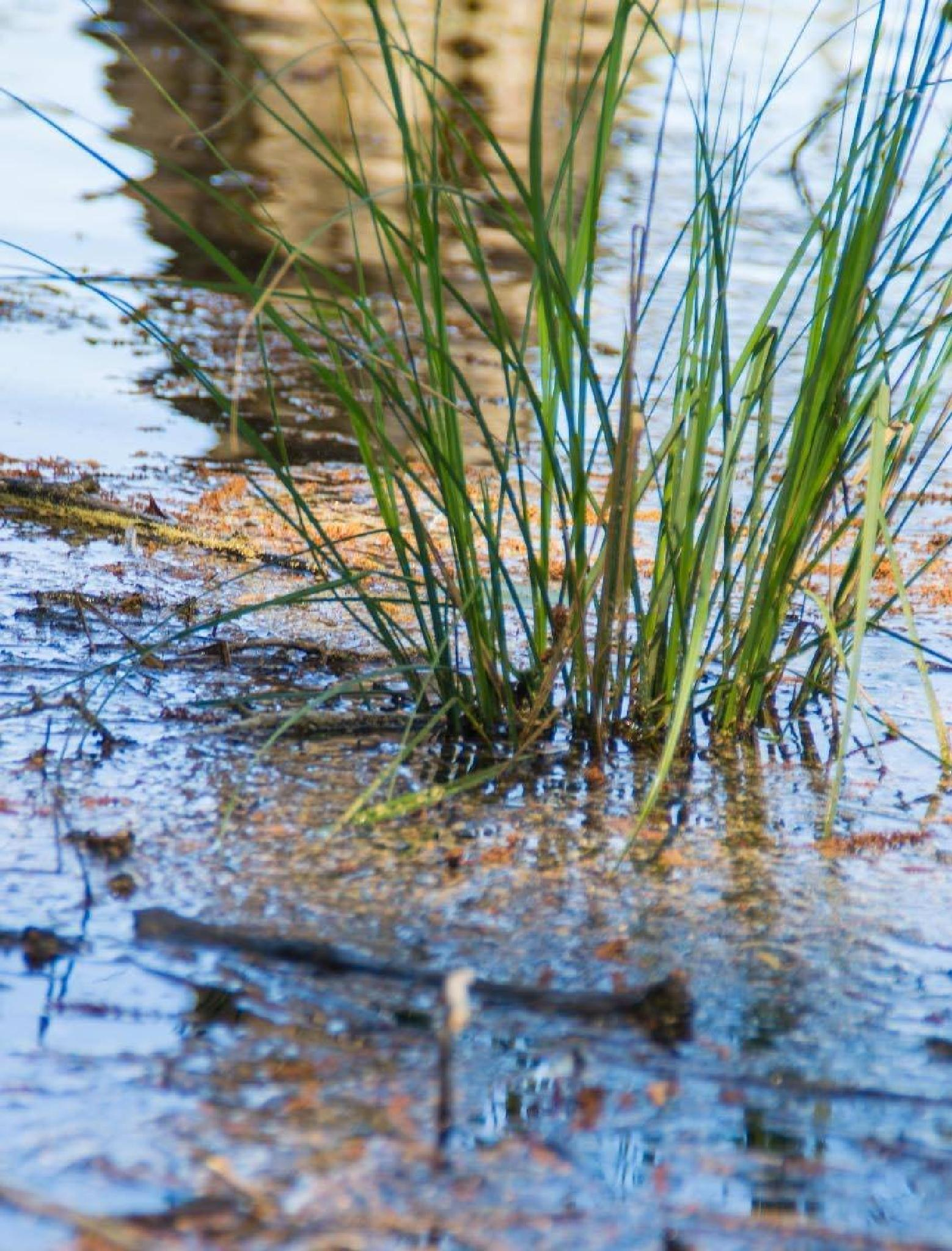Photo in Landscape #swamp grass #swamp #reflections